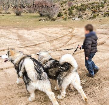 alaskan malamute cachorros