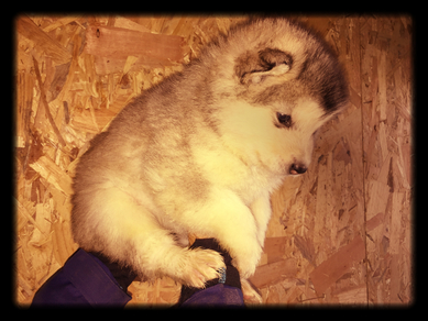 alaskan malamute the wolf house