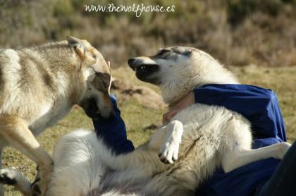 criadero de perro lobo checoslovaco