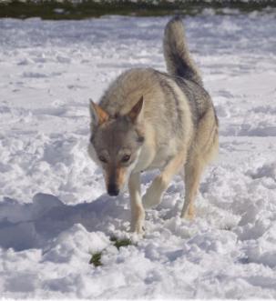 criadero perro lobo checoslvoaco