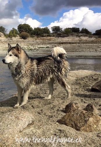 criadero de alaskan malamute the wolf house