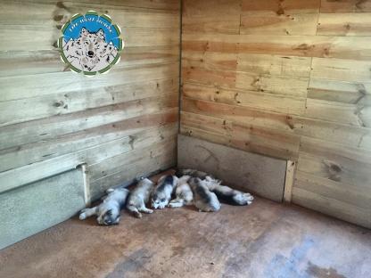 criadero de alaskan malamute
