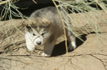 alaskan malamute