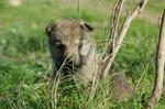cachorros perro lobo checoslovaco