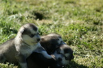 criadero malamute