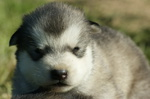 cachorros malamute