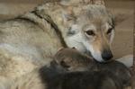 perro lobo the wolf house