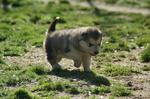 cachorros alaskan malamute
