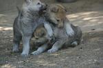 criadero perro lobo