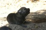 criadero perro lobo checoslovaco