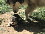 Criadero Alaskan malamute