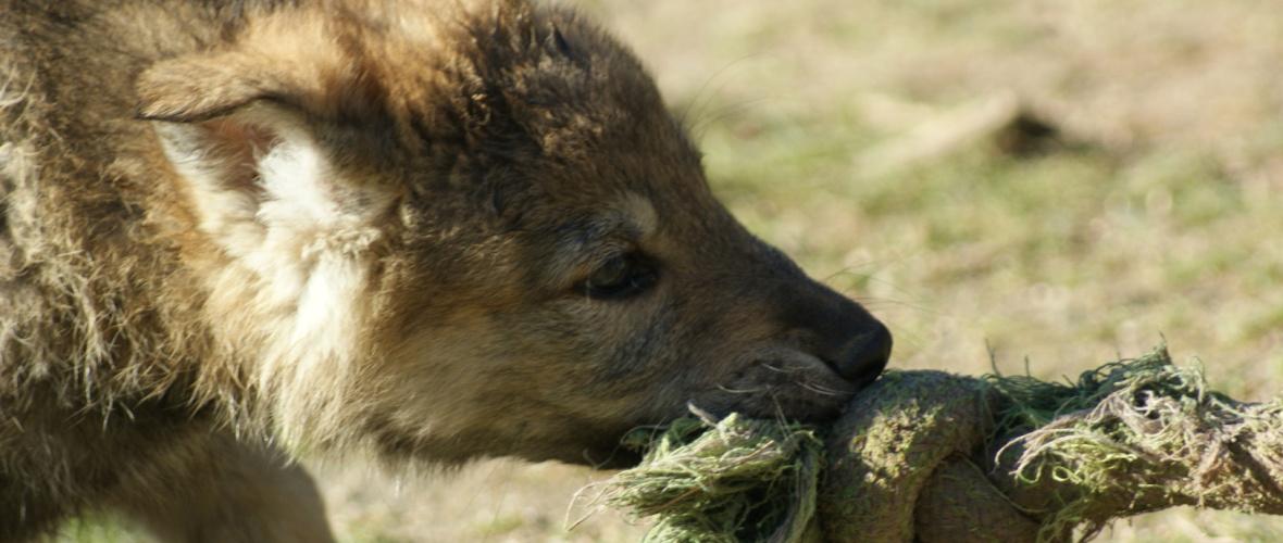 camadas perro lobo checoslovaco